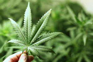 marijuana-leaf-300x200